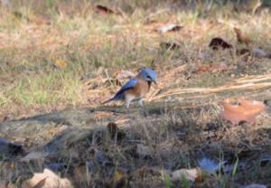BlueBird ground